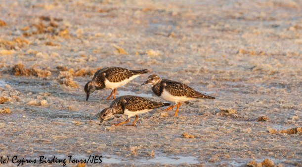 Ruddy Turnstone, Meneou Pool, 16th September 2019 (c) Cyprus Birding Tours