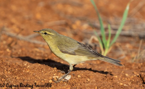 Willow Warbler, Cape Greco 2nd September 2019 (c) Cyprus Birding Tours