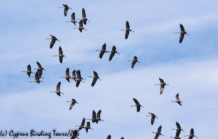 Common Crane, Meneou 25th October 2019 (c) Cyprus Birding Tours