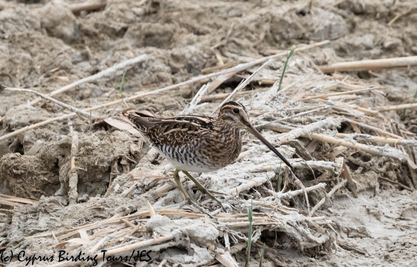 Common Snipe, Larnaca 15th October 2019 (c) Cyprus Birding Tours
