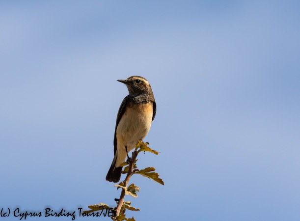 Cyprus Wheatear, Panagia Stazousa 10th October 2019 (c) Cyprus Birding Tours