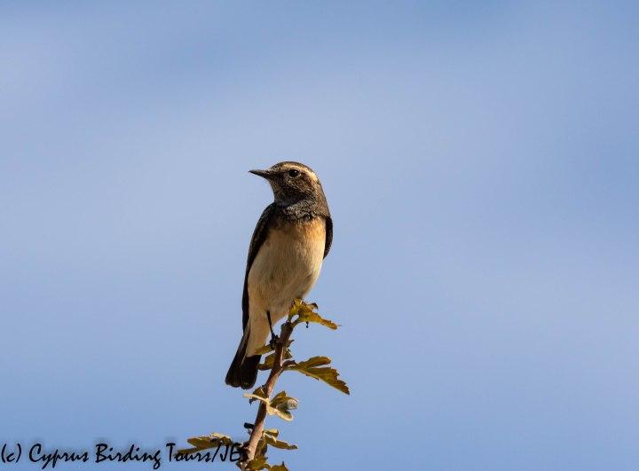 Cyprus Wheatear, Panagia Stazousa 10th October 2019 (c) Cyprus Birding Tours