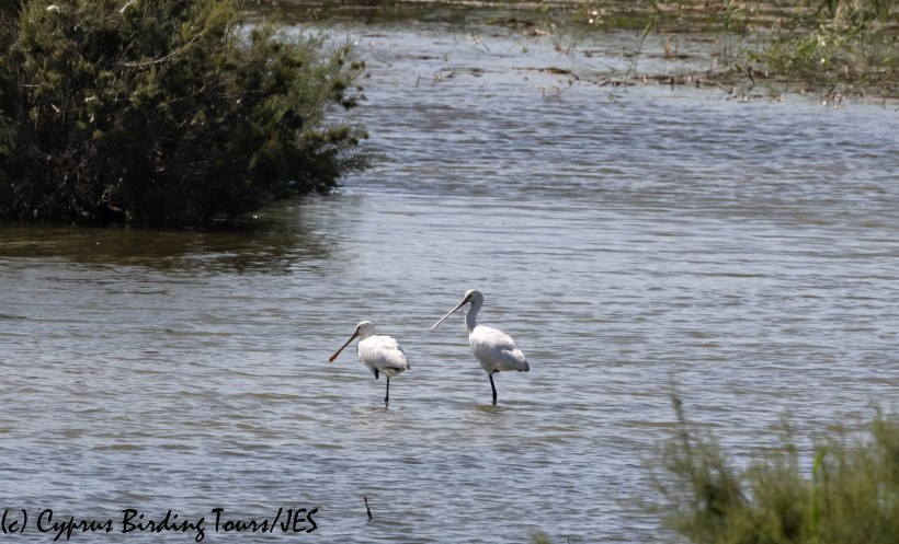Eurasian Spoonbill, Oroklini Marsh 10th October 2019 (c) Cyprus Birding Tours