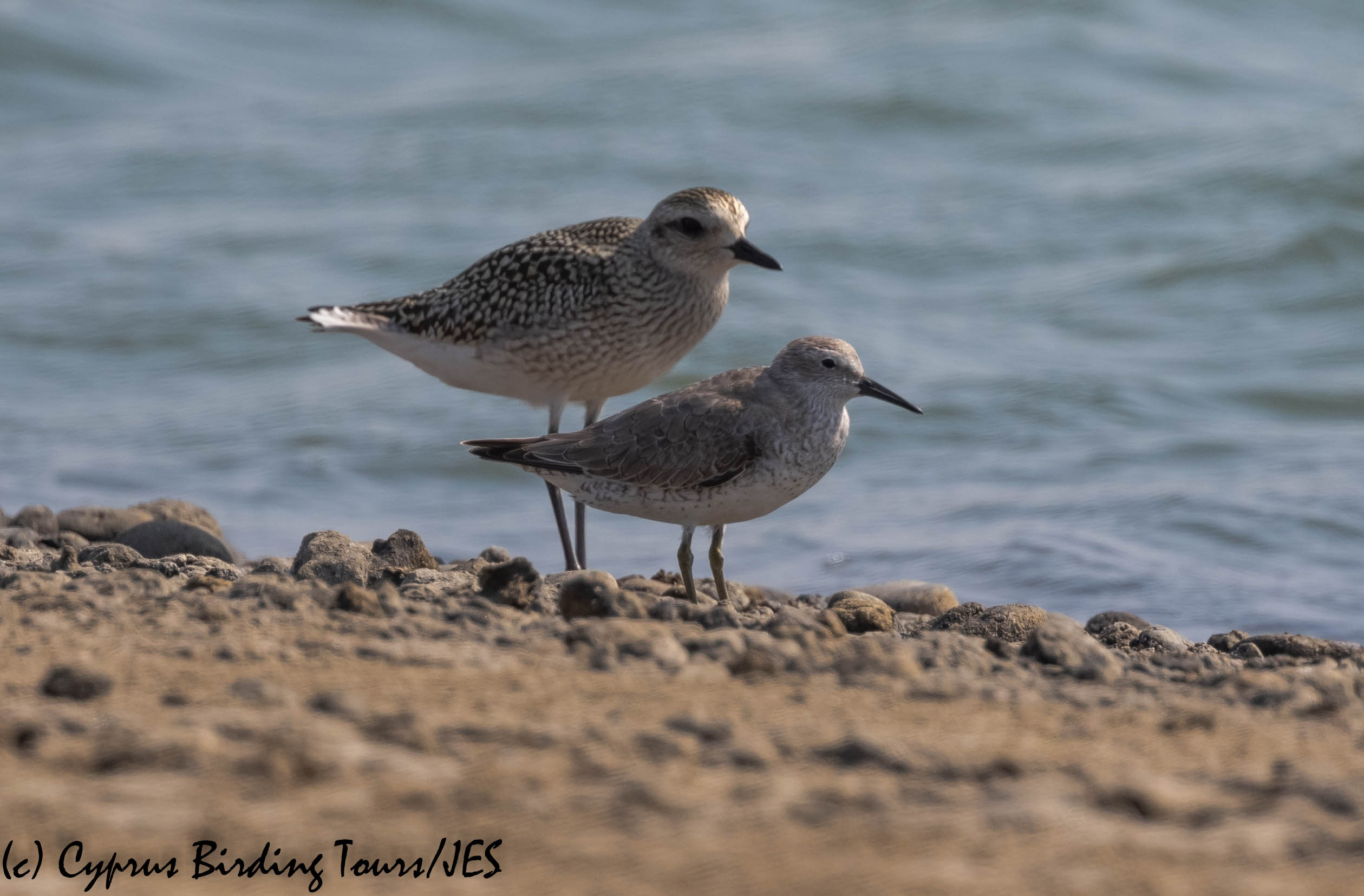 Red Knot, Akrotiri 19th October 2019 (c) Cyprus Birding Tours