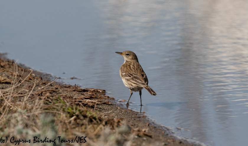 Water Pipit, Lady's Mile 28th October 2019 (c) Cyprus Birding Tours