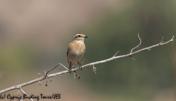 Whinchat , Agios Sozomenos, 7th October 2019 (c) Cyprus Birding Tours