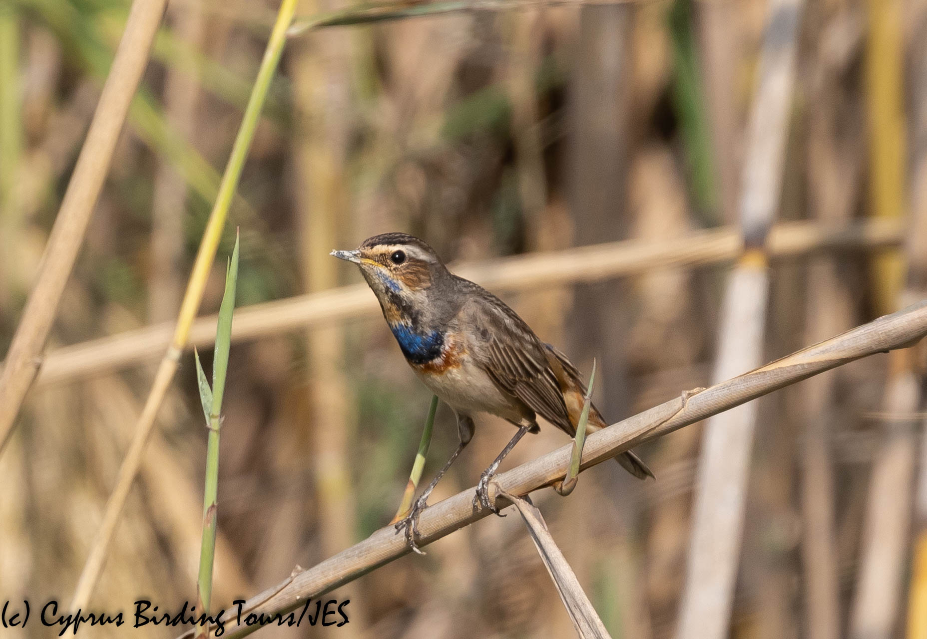 Bluethroat, Larnaca 9th November 2019 (c) Cyprus Birding Tours