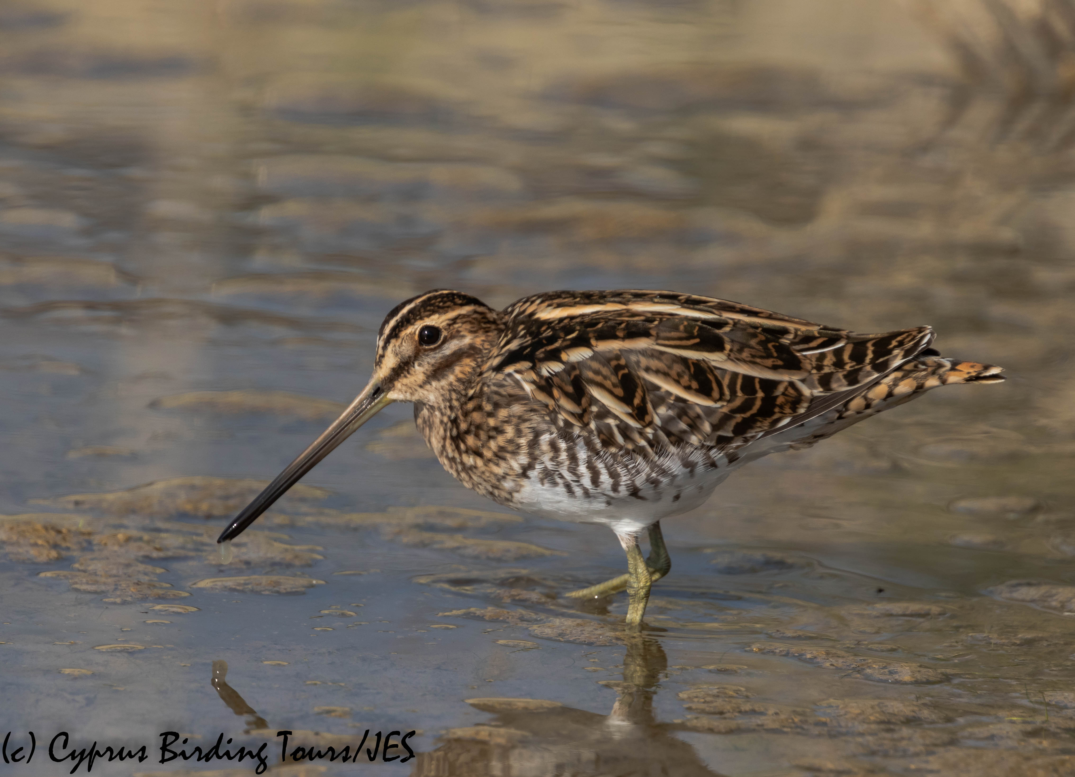 Common Snipe, Zakaki Marsh 8th November 2019 (c) Cyprus Birding Tours