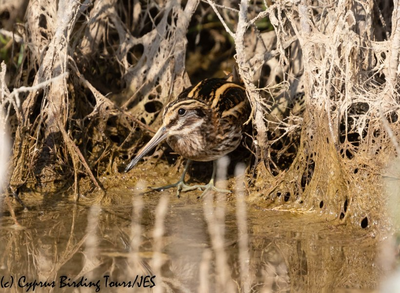 Jack Snipe , Zakaki, 8th November 2019 (c) Cyprus Birding Tours