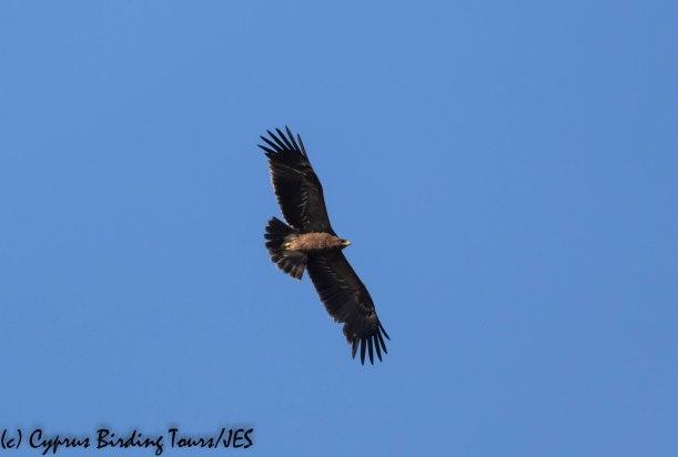 Lesser Spotted Eagle, Phasouri 4th November 2019 (c) Cyprus Birding Tours