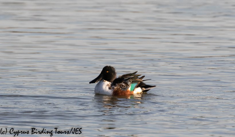 Northern Shoveler, Larnaca 18th November 2019 (c) Cyprus Birding Tours