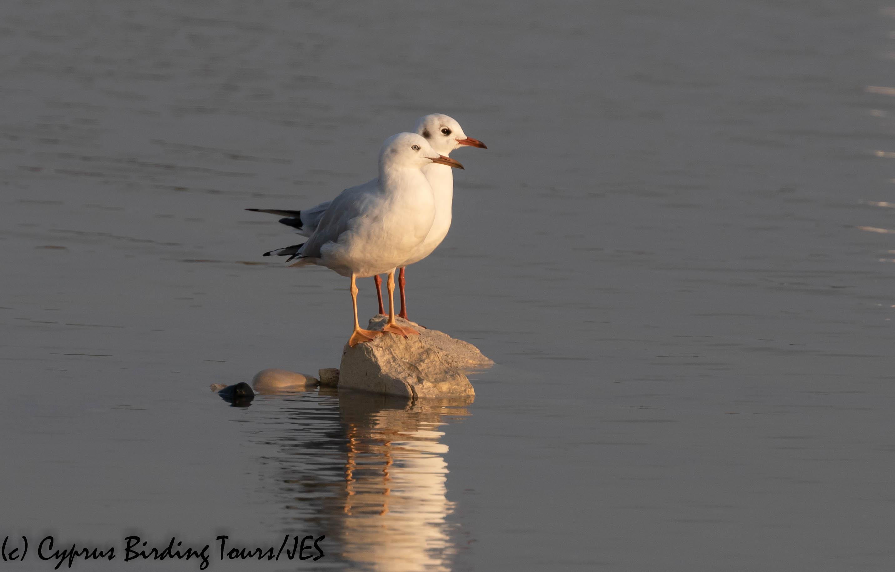 Slender-billed Gull, Lady's Mile, 22nd November 2019 (c) Cyprus Birding Tours