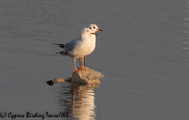 Slender-billed Gull, Lady's Mile, 22nd November 2019 (c) Cyprus Birding Tours