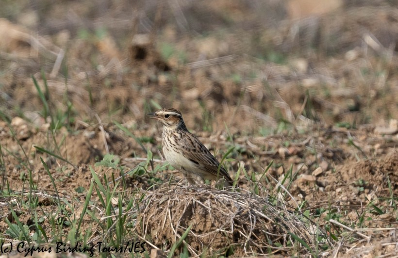 Woodlark, Pyrga 9th November 2019 (c) Cyprus Birding Tours