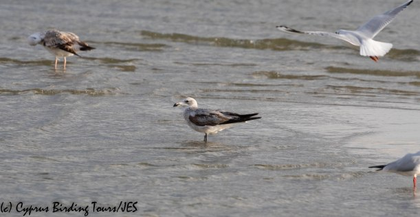 Audouin's Gull, Oroklini Beach 10th December 2019 (c) Cyprus Birding Tours
