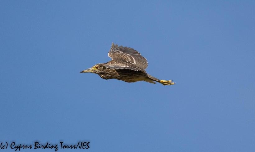 Black-crowned Night Heron juvenile, Larnaca Salt Lake 30th November 2019 (c) Cyprus Birding Tours