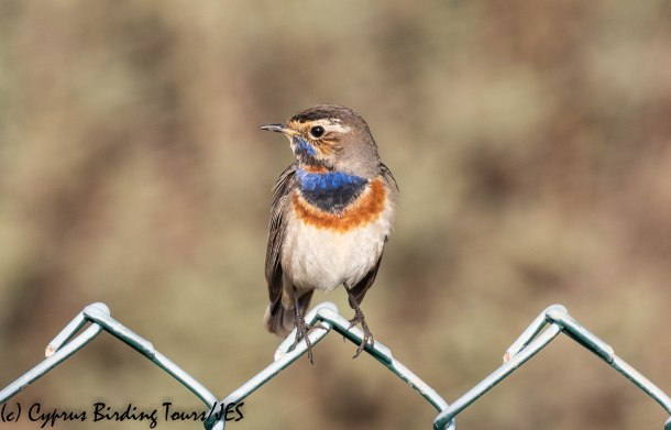 Bluethroat 2, LSW 10th December 2019 (1 of 1)