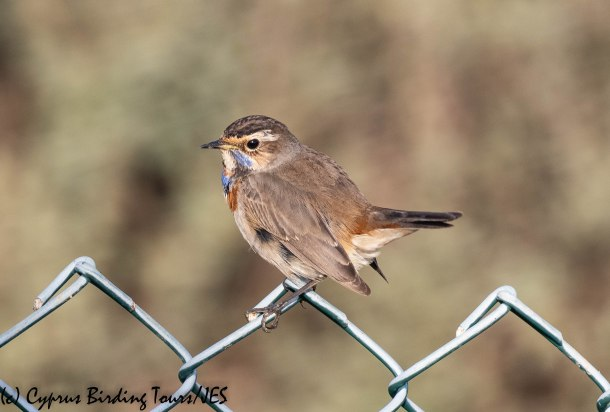 Bluethroat , Larnaca Sewage Works,10th December 2019 (c) Cyprus Birding Tours