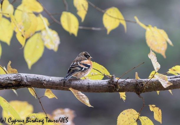 Brambling, Troodos, 6th December 2019 (c) Cyprus Birding Tours