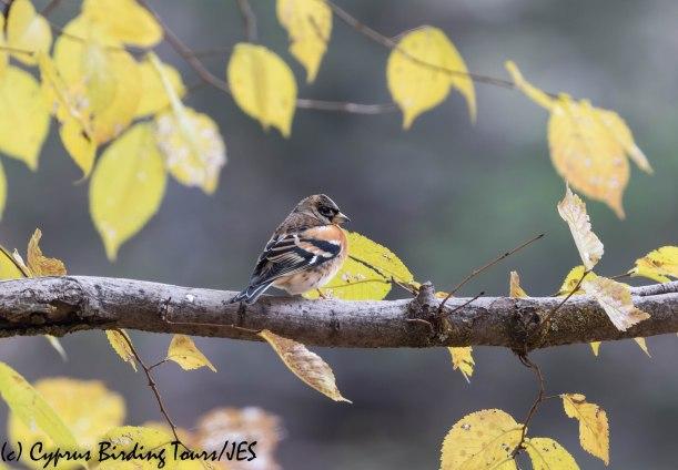 Brambling, Troodos, 6th December 2019 (c) Cyprus Birding Tours
