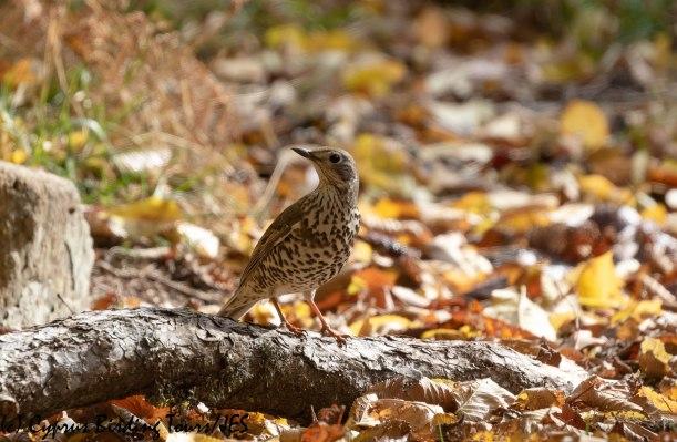 Mistle Thrush, Troodos, 6th December 2019 (c) Cyprus Birding Tours