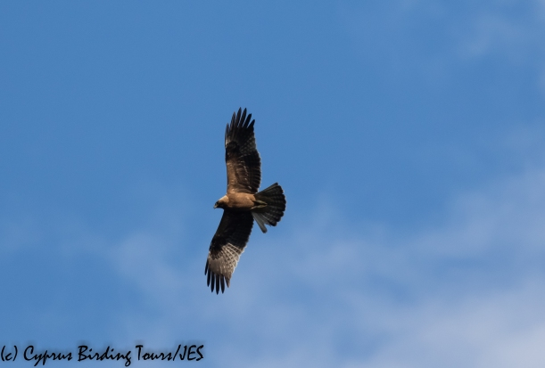 Booted Eagle, Phasouri 29th January 2020 (1 of 1)