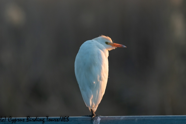 Cattle Egret, Phasouri, 21st January 2020 (c) Cyprus Birding Tours