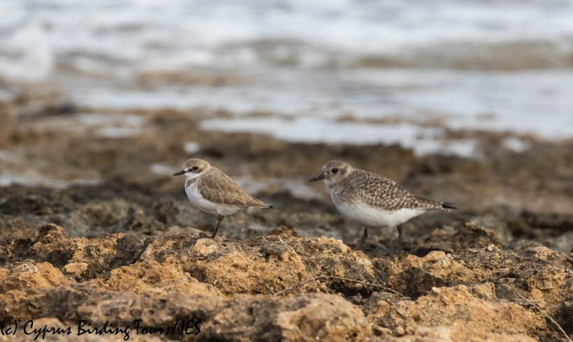 Greater Sandplover, Agia Trias 9th January 2020 (c) Cyprus Birding Tours