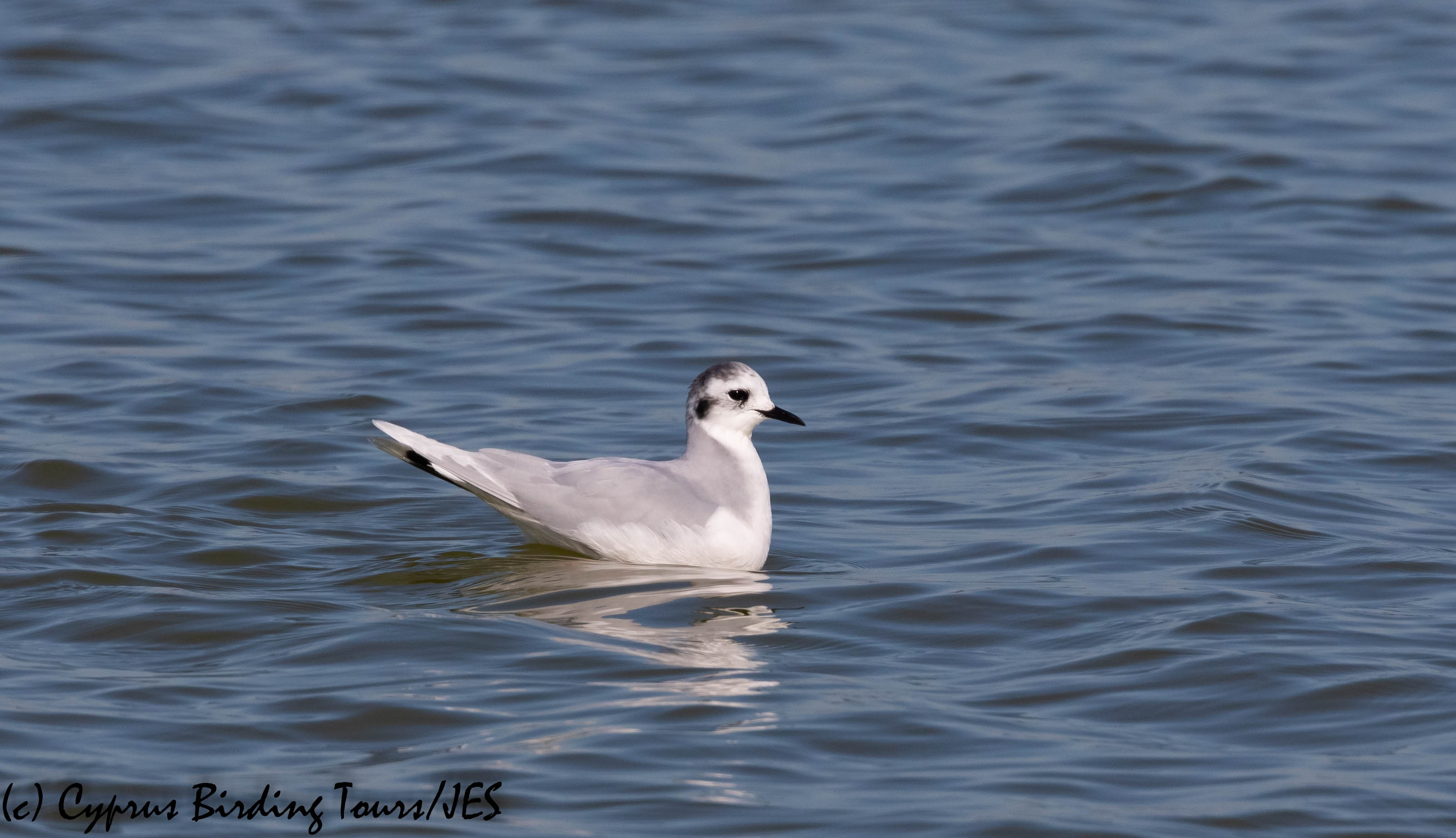 Little Gull, Larnaca Salt Lake 11th January 2020 (c) Cyprus Birding Tours