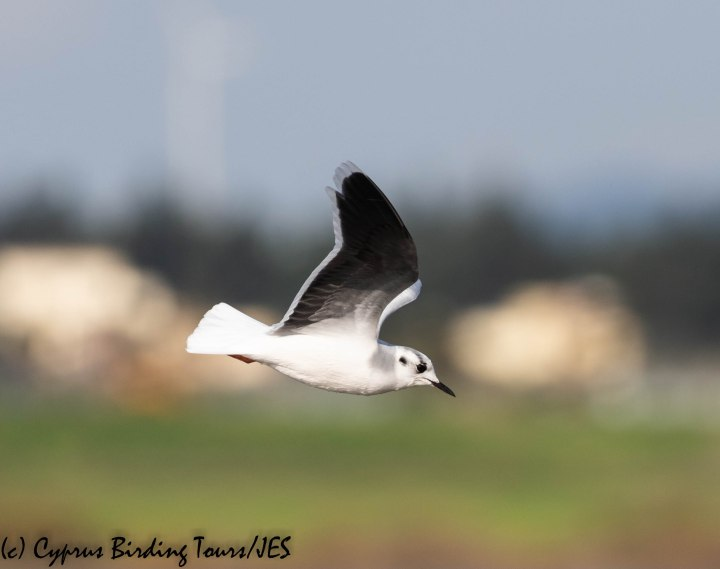 Little Gull, Meneou 9th January 2020 (c) Cyprus Birding Tours