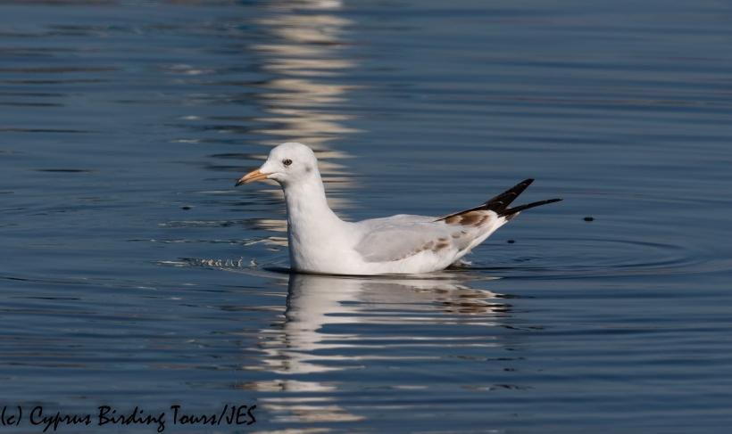 Slender-billed Gull, Lady's Mile 21st January 2020 (c) Cyprus Birding Tours