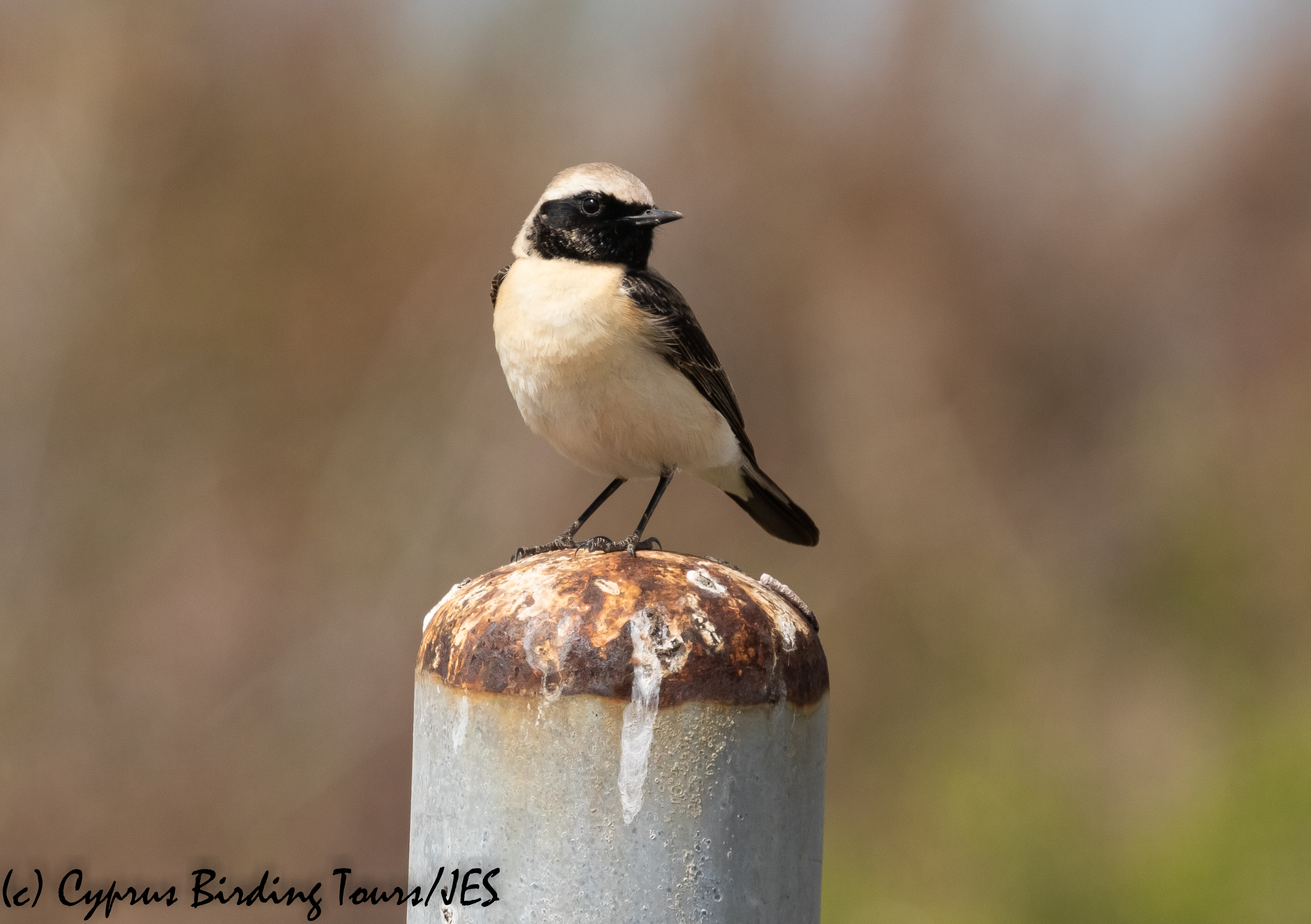 Black-eared Wheatear, Larnaca 24th March 2020 (Cyprus Birding Tours)