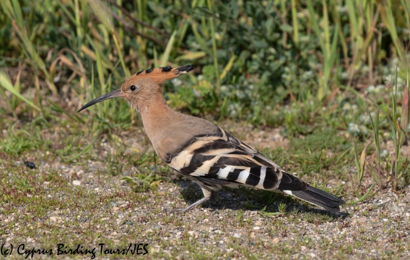 Common Hoopoe, Larnaca 16th March 2020 (c) Cyprus Birding Tours