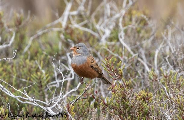 Cretzschmar's Bunting, Larnaca 5th March 2020 (c) Cyprus Birding Tours