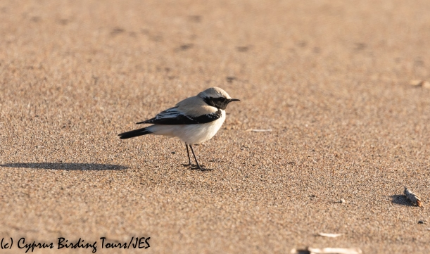 Desert Wheatear, Mandria 10th March 2020 (c) Cyprus Birding Tours