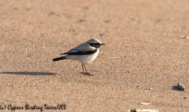 Desert Wheatear, Mandria 10th March 2020 (c) Cyprus Birding Tours