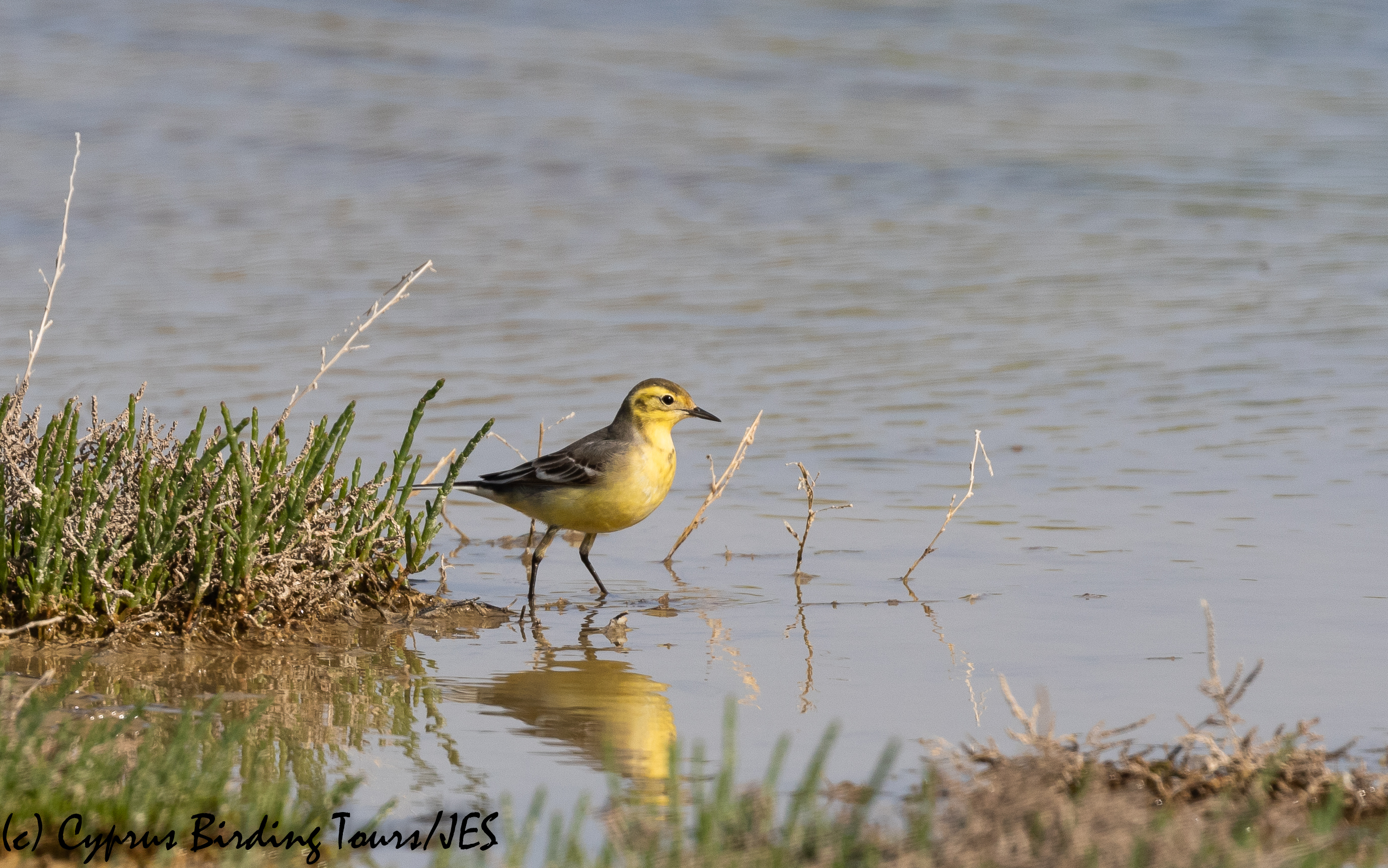 Female Citrine Wagtail, Petounta 24th March 2020 (c) Cyprus Birding Tours