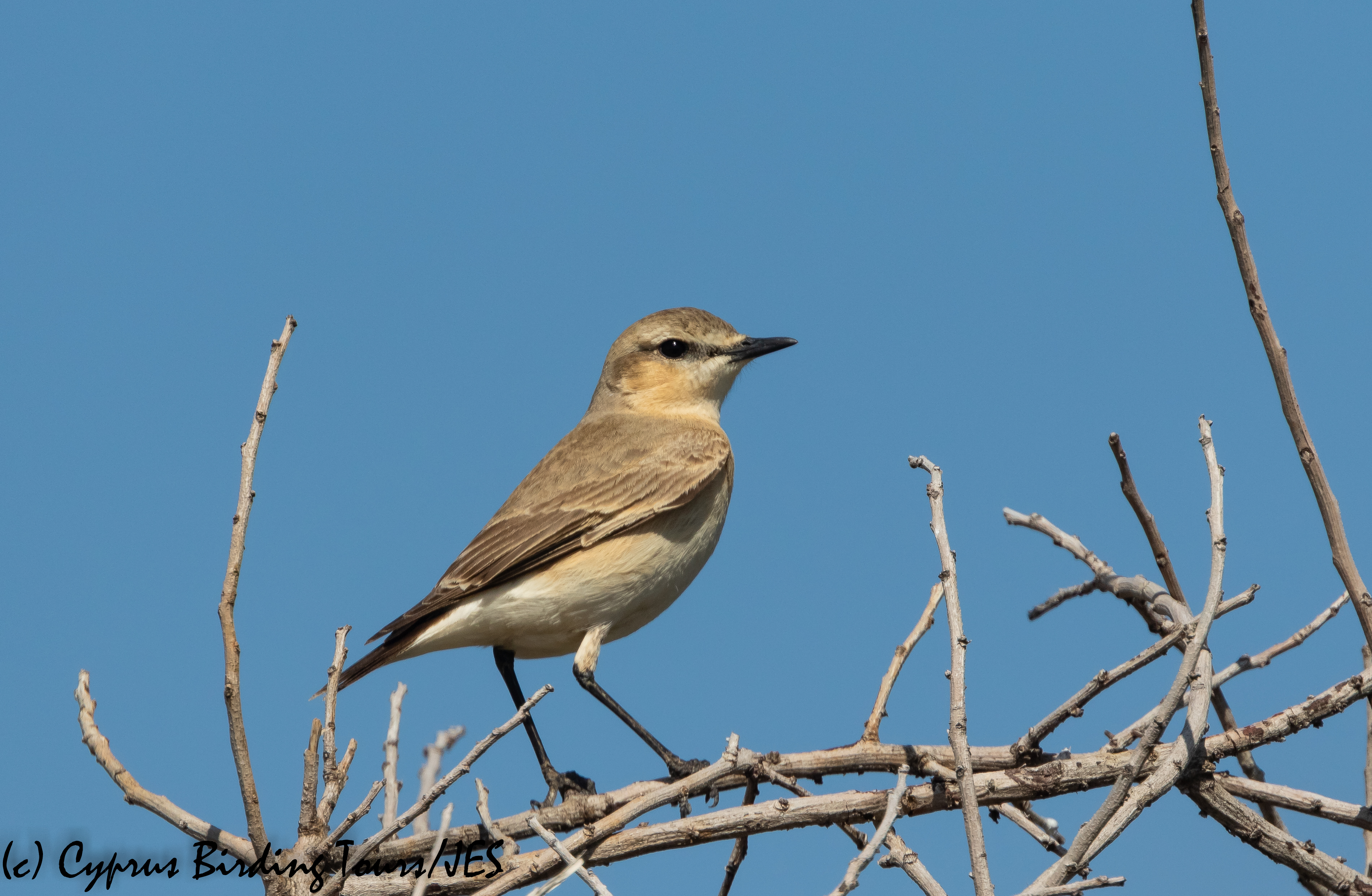 Isabelline Wheatear, Petounta 8th March 2020 (c) Cyprus Birding Tours