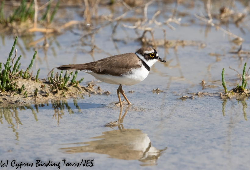 Little Ringed Plover, Petounta 24th March 2020 (c) Cyprus Birding Tours