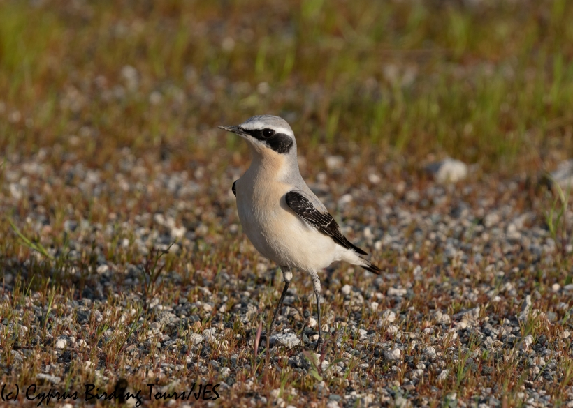 Northern Wheatear, Spiros Pool 24th March 2020 (c) Cyprus Birding Tours