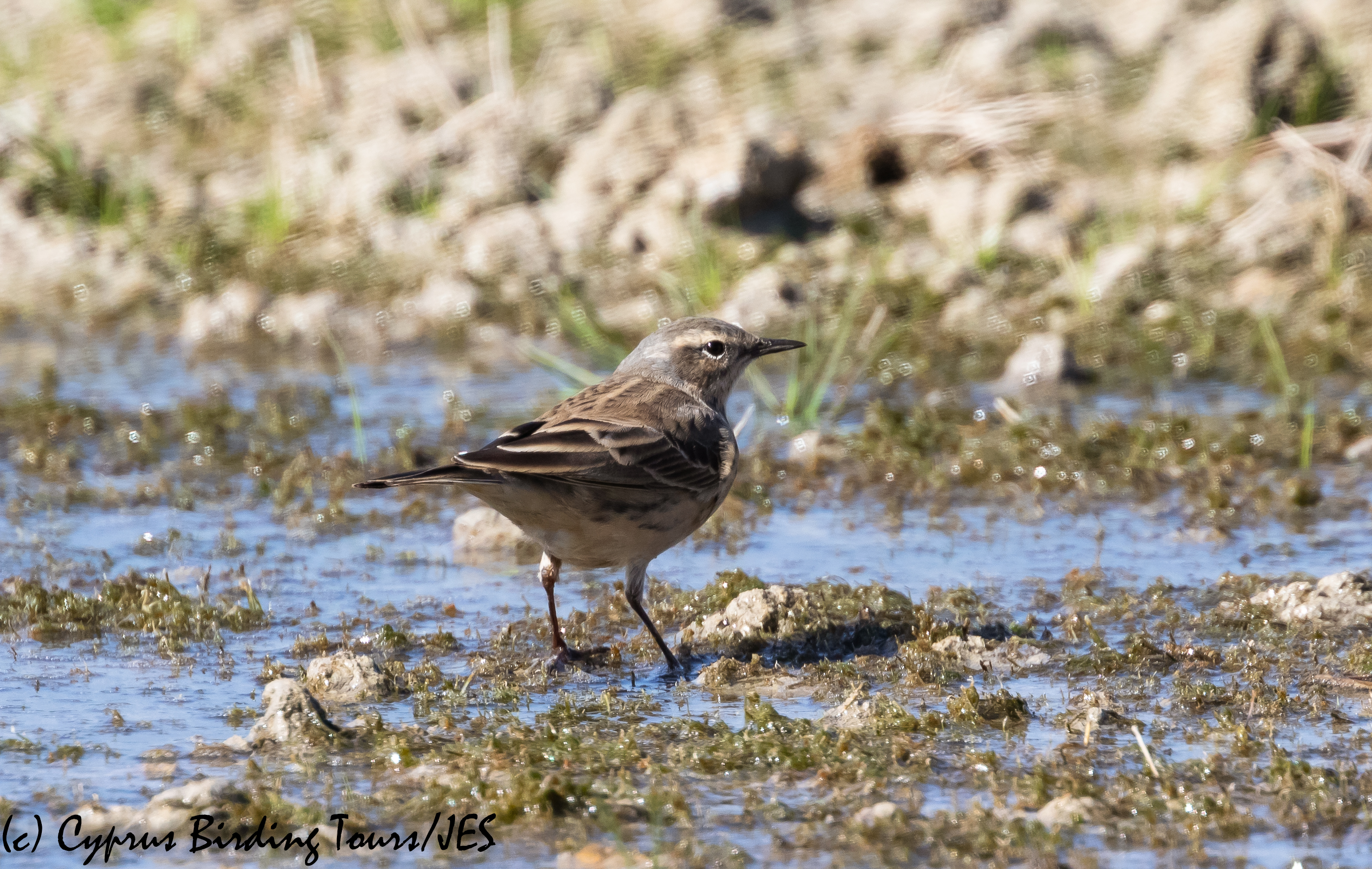 Water Pipit, Petounta 8th March 2020 (c) Cyprus Birding Tours