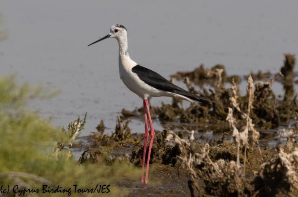 Black-winged Stilt, Meneou 7th June 2020 (c) Cyprus Birding Tours