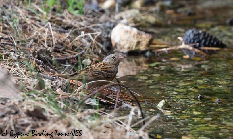 Cretzschmar's Bunting, Akamas 21st May 2020 (c) Cyprus Birding Tours