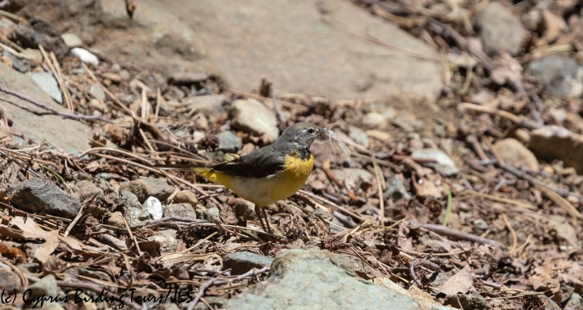 Grey Wagtail, Troodos, 2nd June 2020 (c) Cyprus Birding Tours