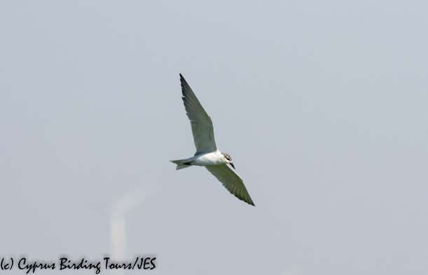 Gull-billed Tern, Larnaca Sewage Works, 25th June 2020 (c) Cyprus Birding Tours