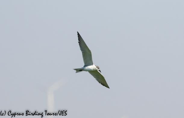 Gull-billed Tern, Larnaca Sewage Works, 25th June 2020 (c) Cyprus Birding Tours
