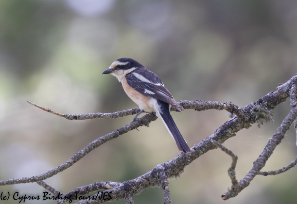 Masked Shrike, Troodos 16th June 2020 (c) Cyprus Birding Tours