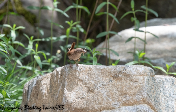 Northern Wren, Troodos, 2nd June 2020 (c) Cyprus Birding Tours