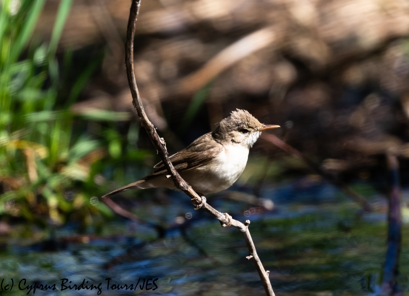 Olivaceous Warbler, Troodos, 2nd June 2020 (c) Cyprus Birding Tours
