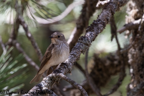 Spotted Flycatcher, Troodos 16th June 2020 (c) Cyprus Birding Tours